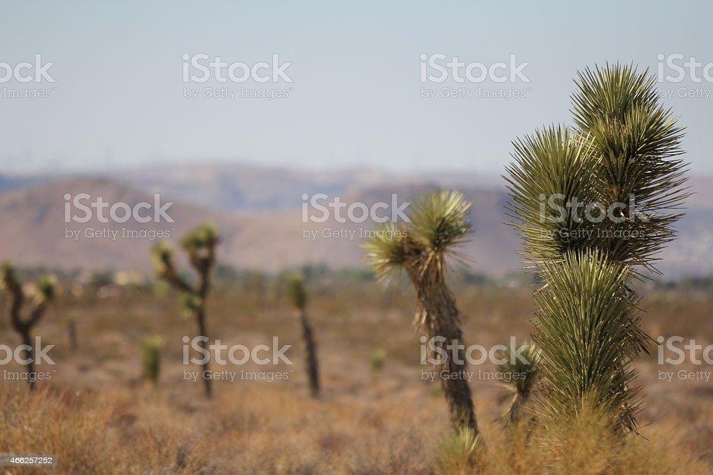 Joshua Trees in the Mojave desert. stock photo