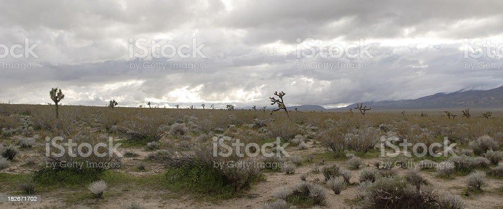 Joshua Trees, Panoramic stock photo