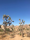 Joshua Trees found on sandy dirt desert trail