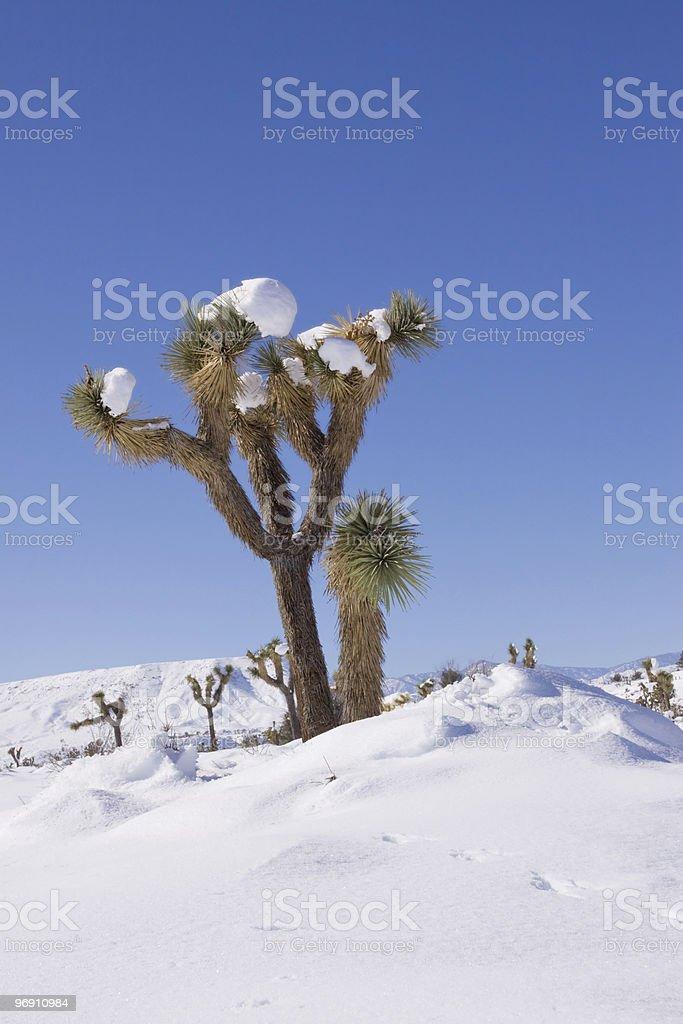 Joshua trees royalty-free stock photo
