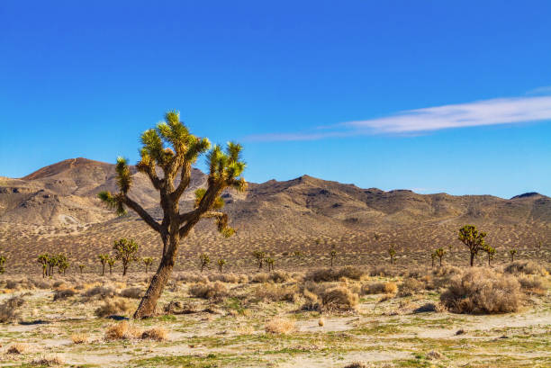 Joshua trees with mountains in the Mojave Desert near Palmdale, California stock photo