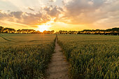 Journey travel concept sunset or sunrise over path through countryside field of wheat or barley crops