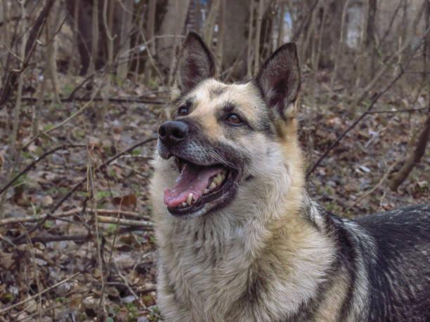 joyful dog. german shepherd - eastern european culture stock photos and pictures