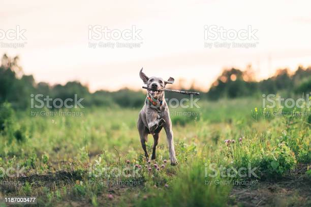 Joyful dog playing with whip while walking on green field picture id1187003477?b=1&k=6&m=1187003477&s=612x612&h=osou73uct6bngwzexzdsvqgn98drm5curbbkkr88ts8=