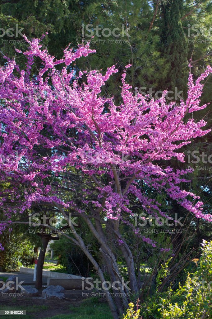 Judas tree Cercis canadensis. Blossoming tree in a park stock photo