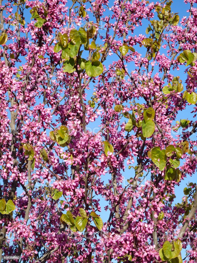 Judas Tree Clusters Of Pinkpurple Flowers With Young Glossy Leaves