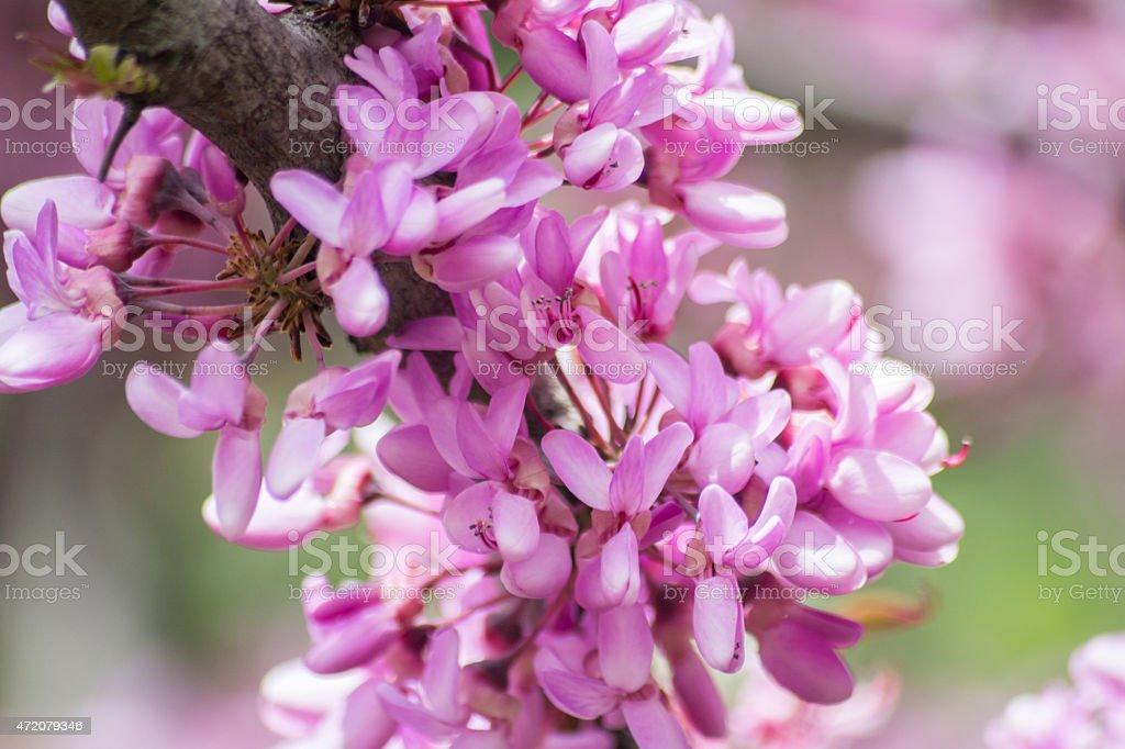 Judas tree flower (Cercis siliquastrum) stock photo