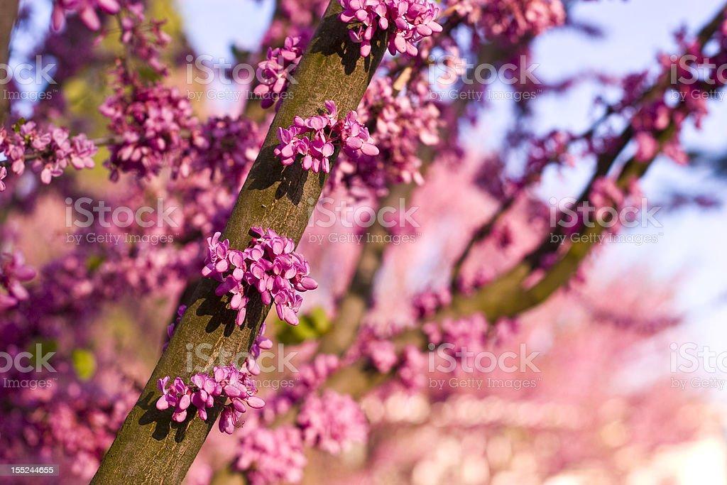 Judas tree in full bloom stock photo