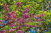 Judas tree in spring