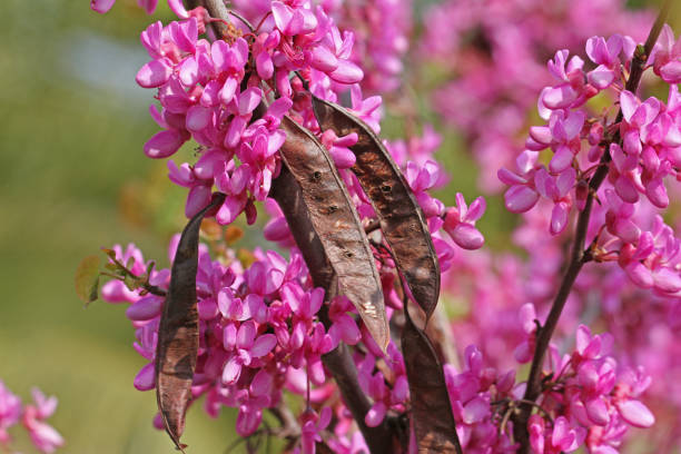 Judas tree latin name circis siliquastrum with purple or shocking judas tree latin name circis siliquastrum with purple or shocking pink flowers showing seed pods from the pea family leguminosae in spring in italy stock mightylinksfo