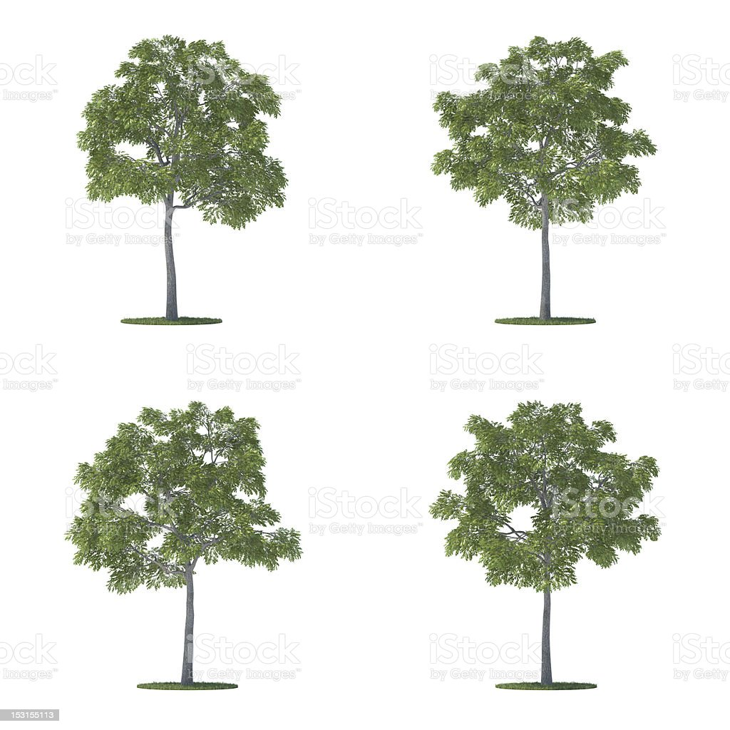 juglans nigra trees collection isolated on white stock photo