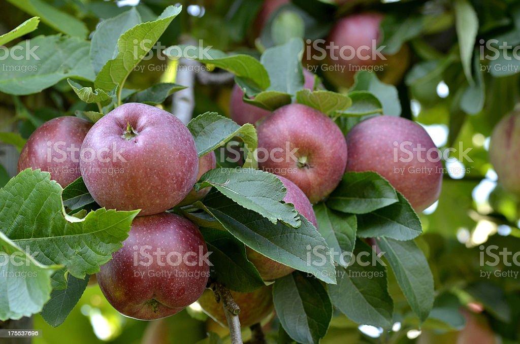Juicy Apples royalty-free stock photo
