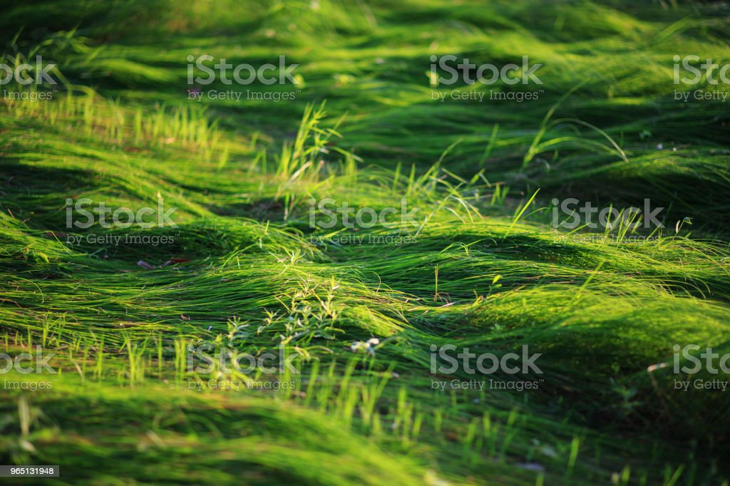 Juicy crushed green grass on the field royalty-free stock photo