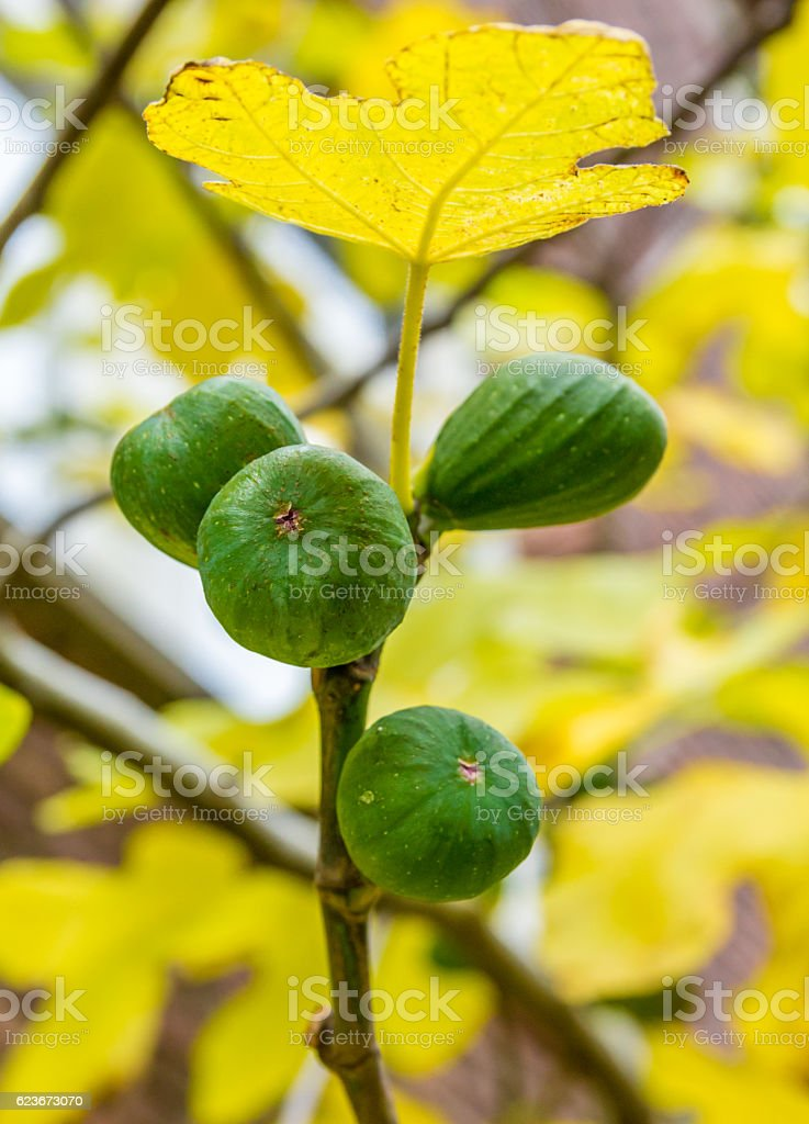juicy figs ripening on a tree stock photo