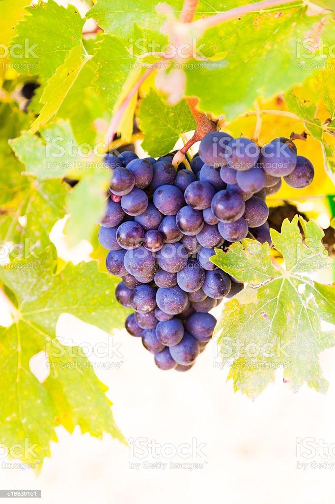 Juicy grape near Florence in the Chianti region stock photo