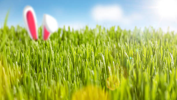 juicy grass and bunny ears in the sunshine - easter bunny stock photos and pictures