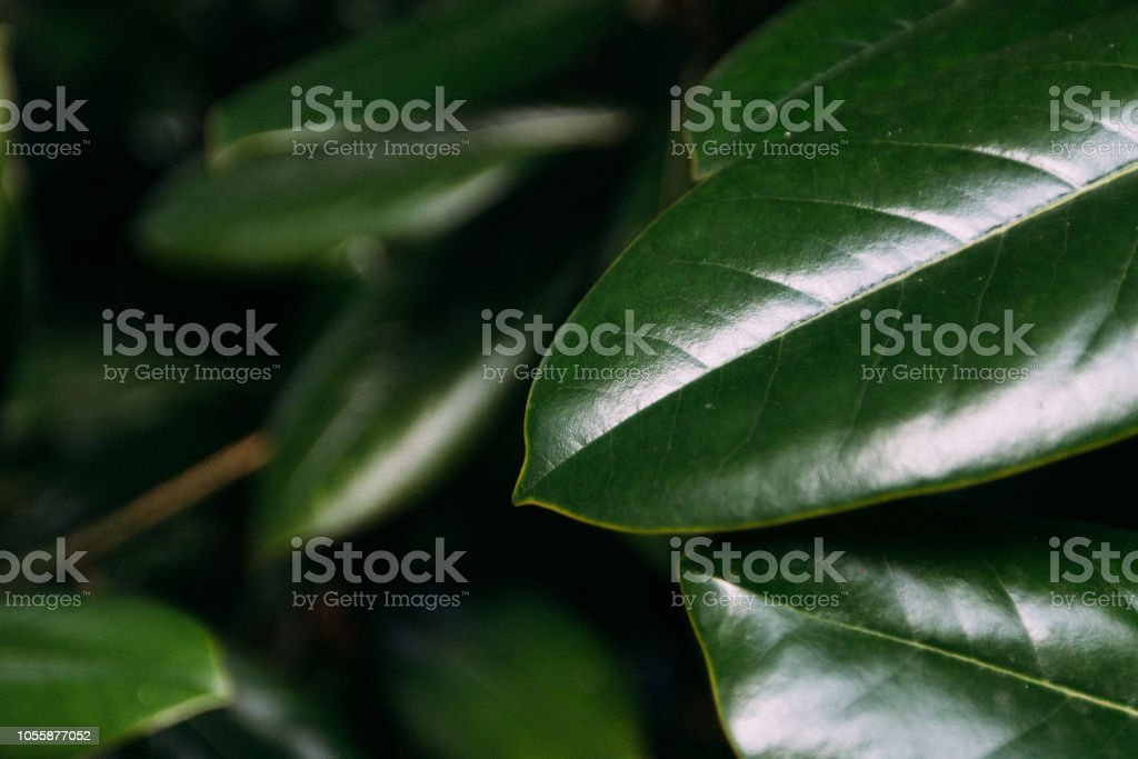 Juicy Green Magnolia Leaves Begin To Turn Yellow In Early Autumn