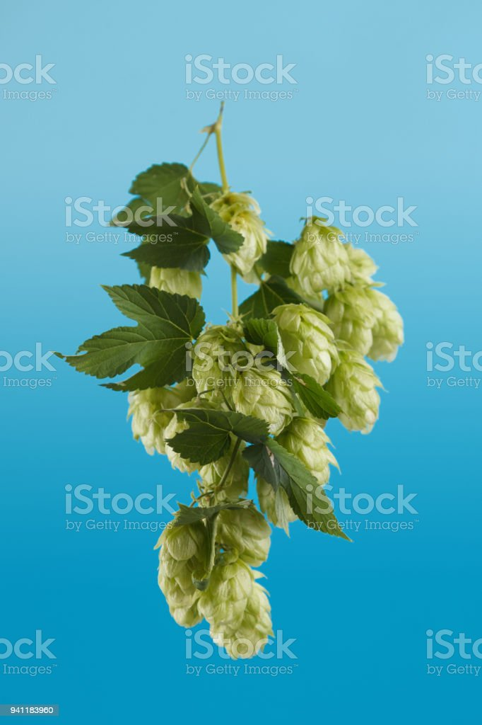 Juicy hop isolated on blue stock photo