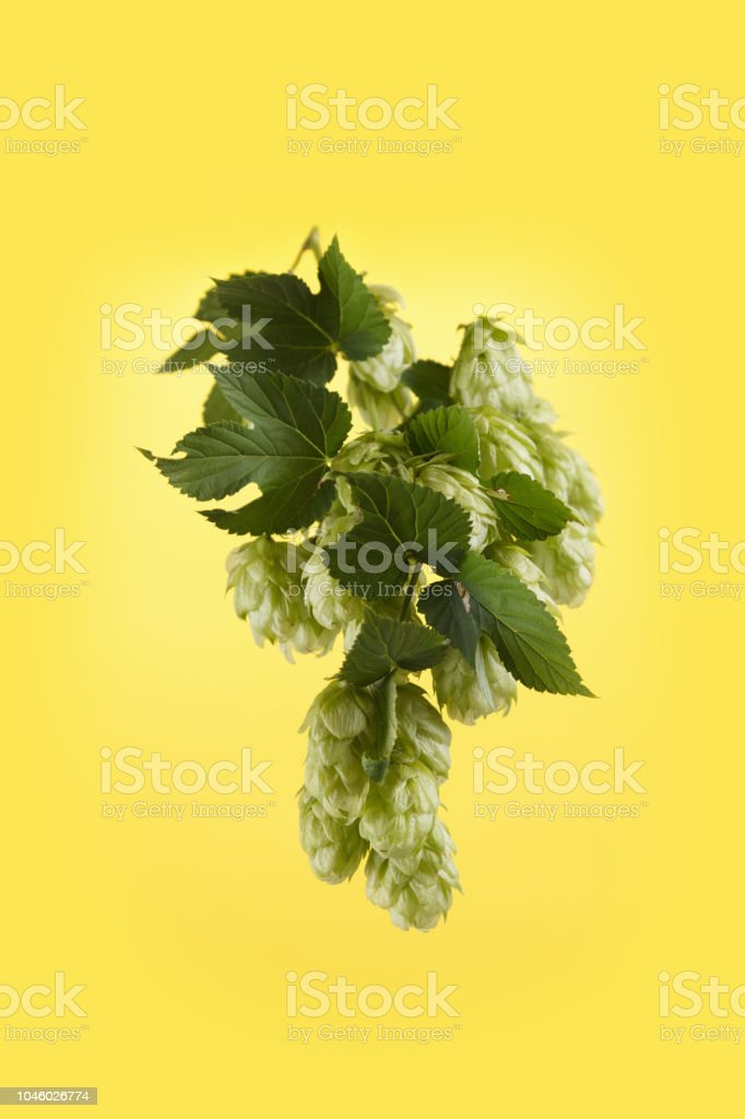 Juicy hop isolated on yellow stock photo