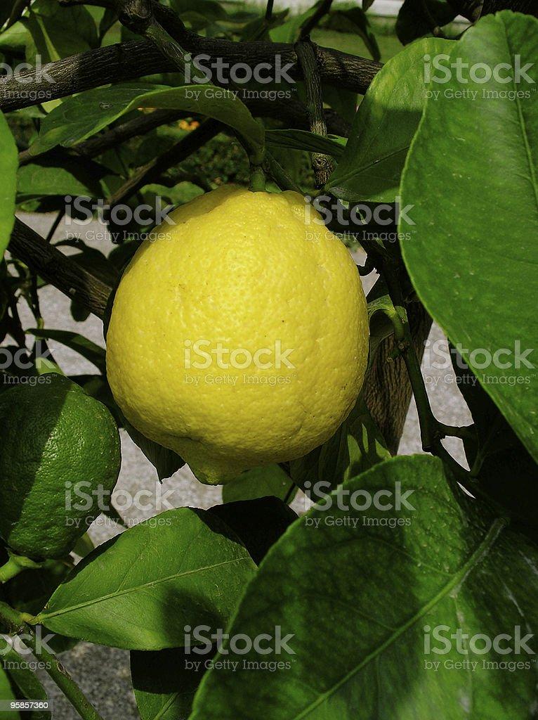 Saftige Zitrone auf einem Baum-Nahaufnahme – Foto
