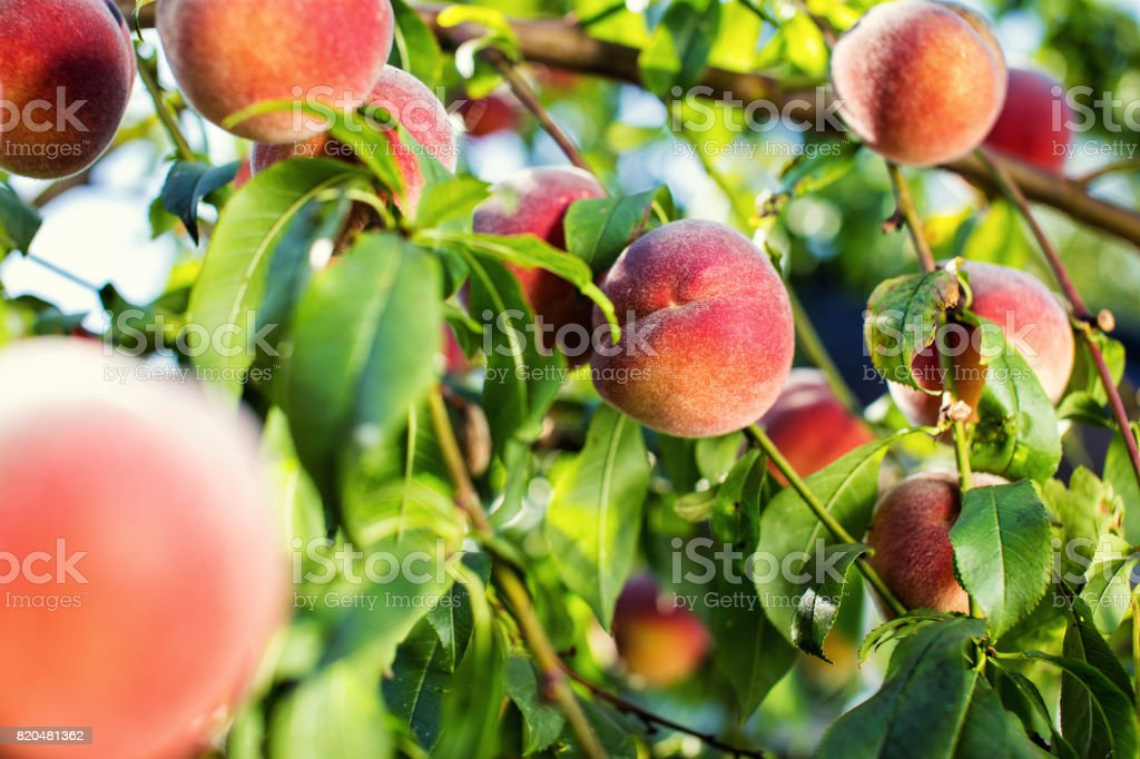 juicy peaches hang on a branch stock photo