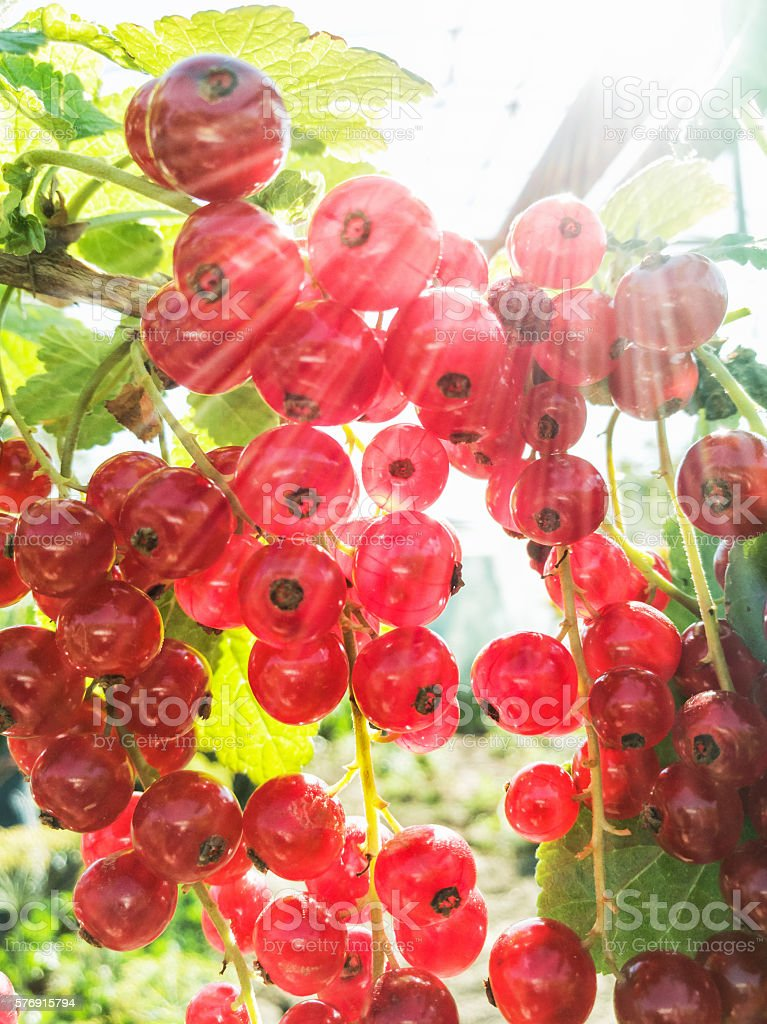 Juicy red currants, sun rays, fruit scene stock photo