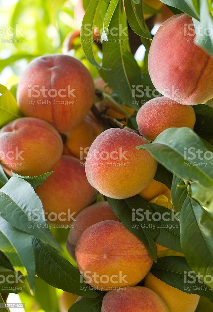 Juicy red peaches hanging from the tree stock photo