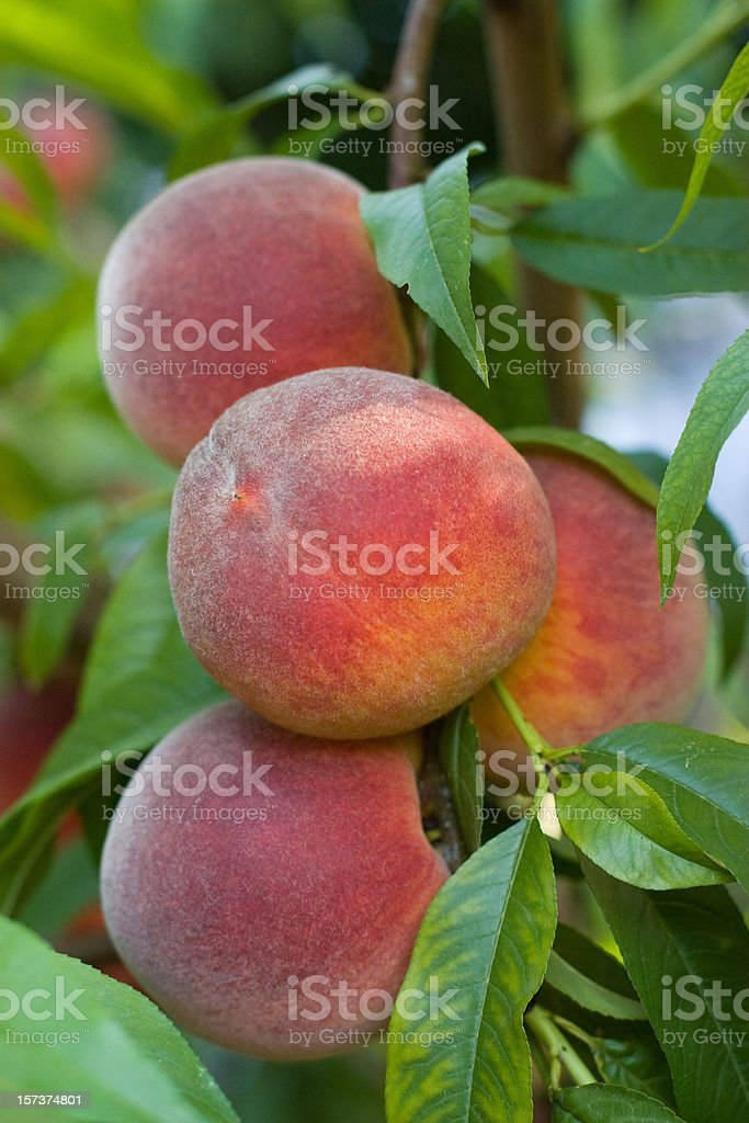 juicy red peaches royalty-free stock photo