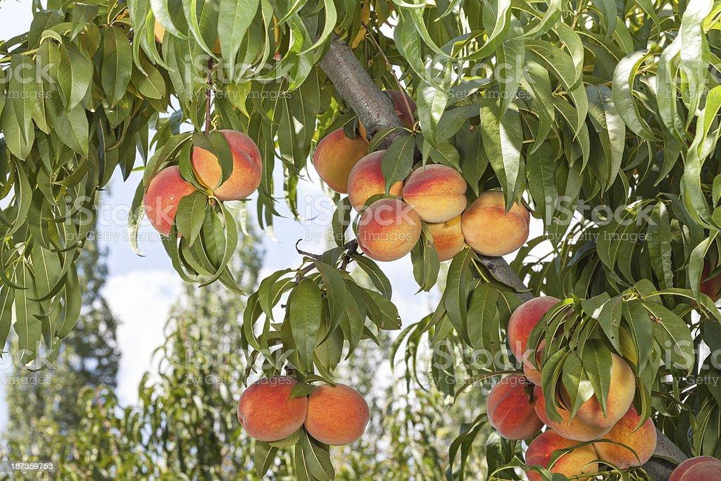 Juicy Red Peaches stock photo