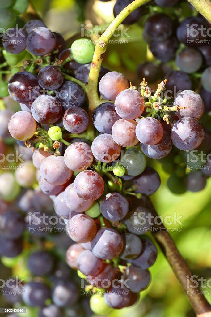 Juicy ripe blue grapes royalty-free stock photo