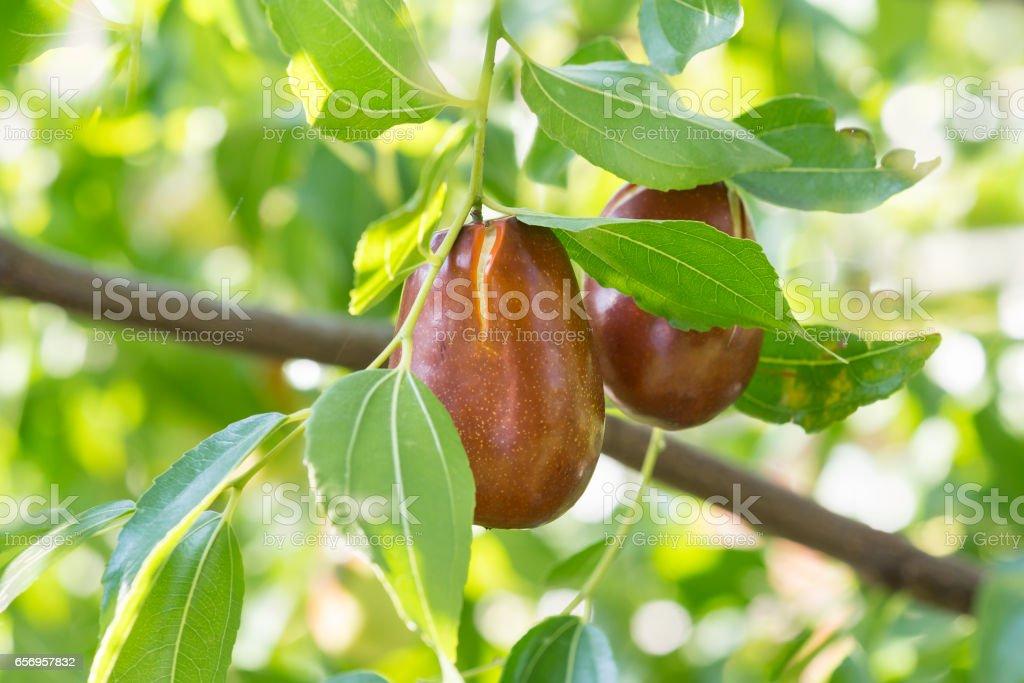 Jujube true, capiinit, Chinese date (lat. Ziziphus jujuba) is a fruit on a branch. stock photo