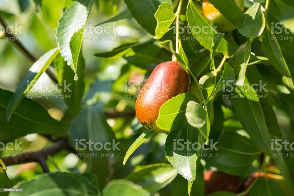 Jujube true, copying, Chinese date (lat. Ziziphus jujuba) is a plant of the genus Jujube of the family krushinovoj stock photo
