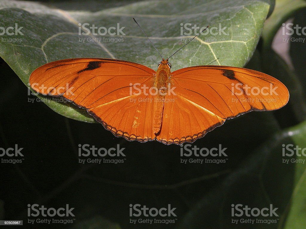 Julia Butterfly royalty-free stock photo