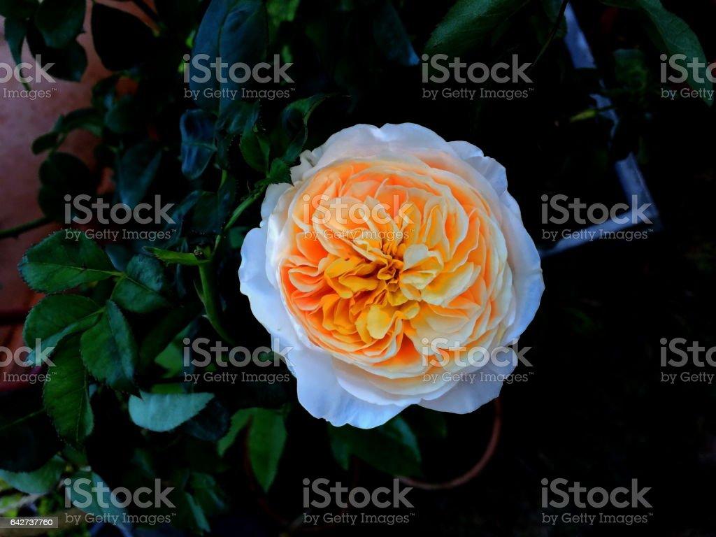 Juliet rose closeup stock photo