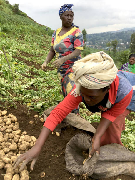 12 July 2019 - Ruhengeri, Rwanda: Subsistence farmers in central Africa, in Rwanda, harvesting potatoes stock photo