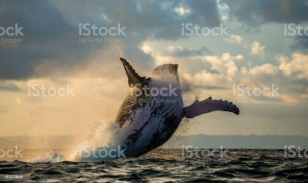 Jump humpback whale. Madagascar royalty-free stock photo