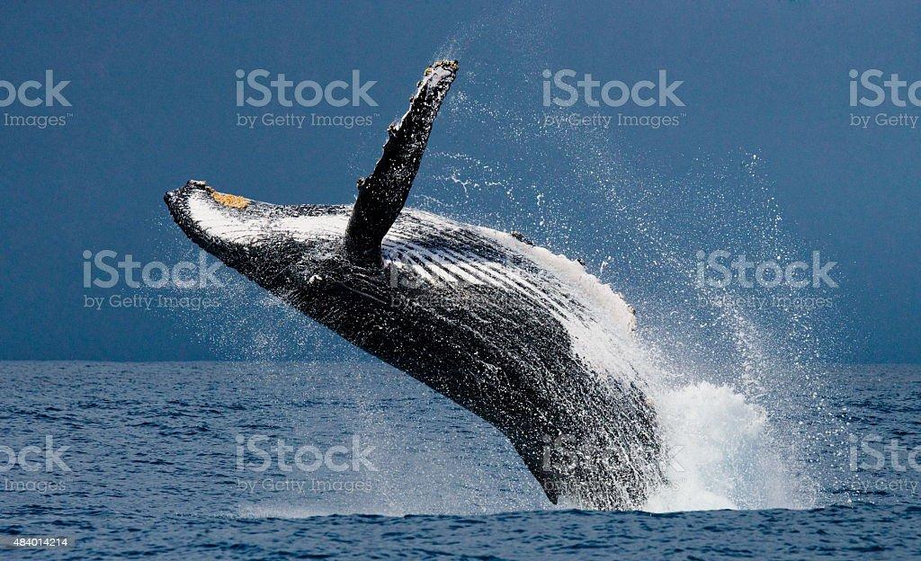 Jump, humpback, whale, Madagascar stock photo
