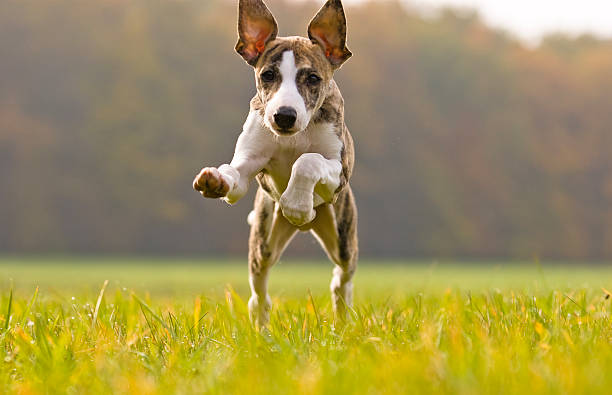 jump whippet puppy playing whippet stock pictures, royalty-free photos & images