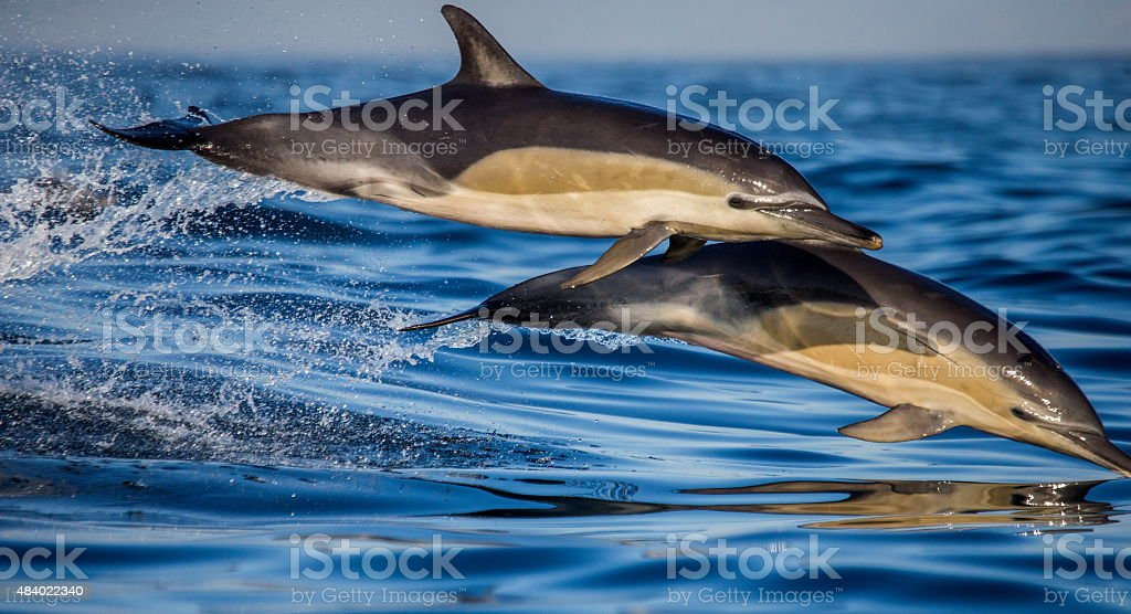 Jump two dolphins. South Africa. stock photo
