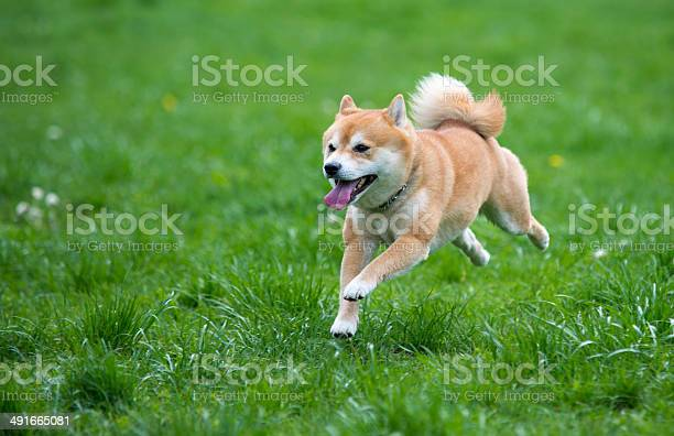 Jumped dog shiba inu on grass picture id491665081?b=1&k=6&m=491665081&s=612x612&h=ysoeziwc6ggp axubuwf7xr brug8zbvbzdjn wcwos=