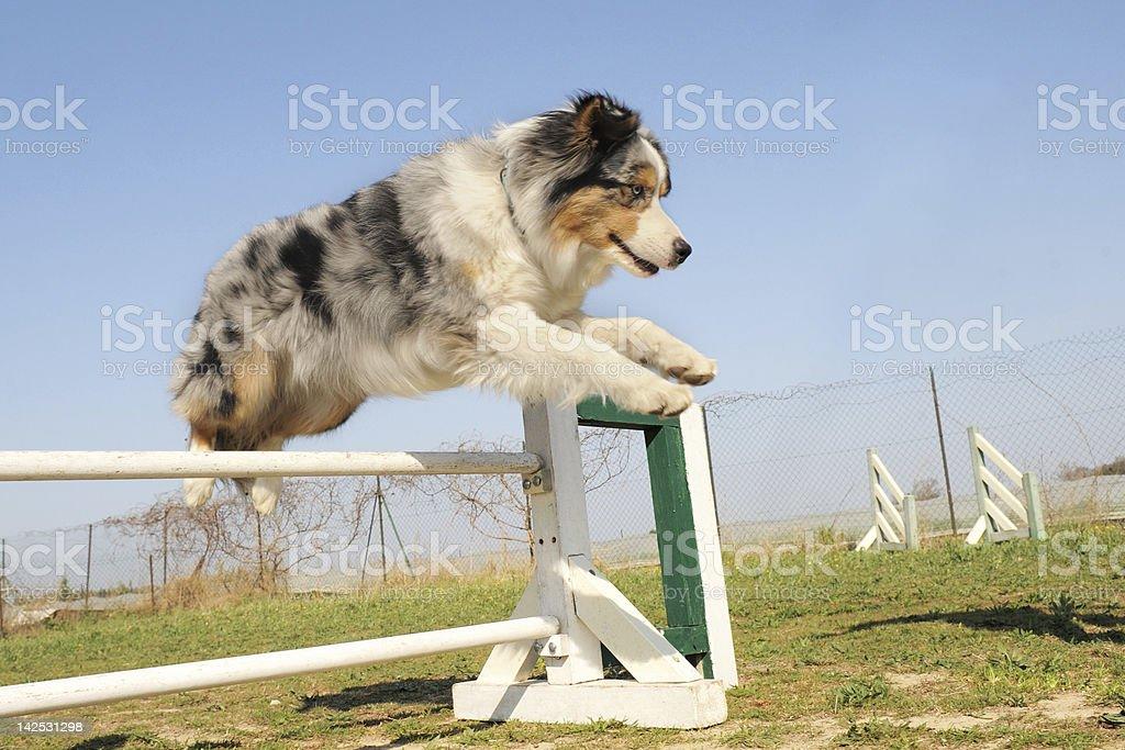 jumping Australischer shepherd – Foto