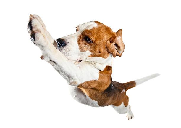 Jumping beagle isolated on white picture id530987349?b=1&k=6&m=530987349&s=612x612&w=0&h=yyhdbilqucvr38hwmbb1q04wed8avivgxl0j8fw  r8=