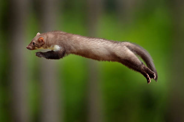Jumping beech marten, small opportunistic predator, nature habitat. Stone marten, Martes foina, in typical european forest environment. stock photo