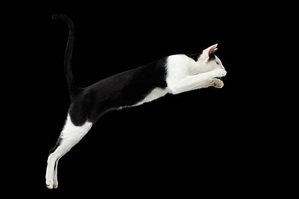 Jumping black and white oriental cat isolated on black picture id509295216?b=1&k=6&m=509295216&s=612x612&w=0&h=r  o7ljgzmjvqrkz0sn3gkiyq4agimzncxgelxdesja=