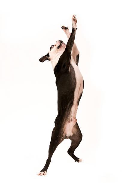 Jumping boston terrier dog picture id119191500?b=1&k=6&m=119191500&s=612x612&w=0&h=bucbejz2zzmbgvygijvsb8menknyt80sv s9jixtdmi=