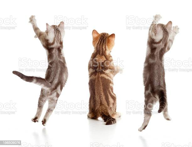 Jumping british kitten rear view set picture id156509076?b=1&k=6&m=156509076&s=612x612&h=jr tv4yn13m5 ltrclutfgm3kooksz013rls65gkfym=