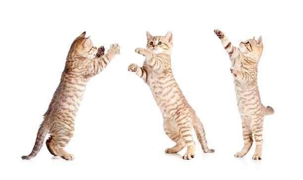 Jumping british kitten set picture id178369177?b=1&k=6&m=178369177&s=612x612&w=0&h=k6fi pteyjyg du wclyc9vjnofzhtwxge7dvyjem6u=
