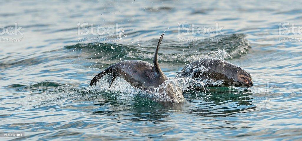 Jumping Cape fur seals stock photo