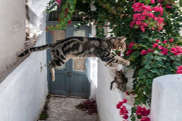 Jumping cat and bougainvillea cyclades greek islands greece picture id466150048?b=1&k=6&m=466150048&s=612x612&w=0&h=k woppgs5zxzqj5li5ztsymkevjj6lpl9tiawobosjq=