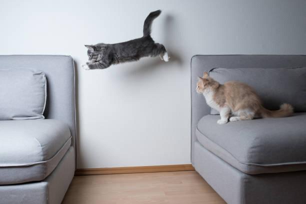 Jumping cat picture id1140349068?b=1&k=6&m=1140349068&s=612x612&w=0&h=hqduikdlvfik4ydki8e6g7xx8srrzectsjsnf4llzmi=